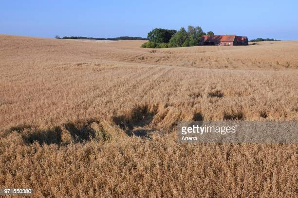 Damage in oat field / cereal field done by foraging wild boars in summer