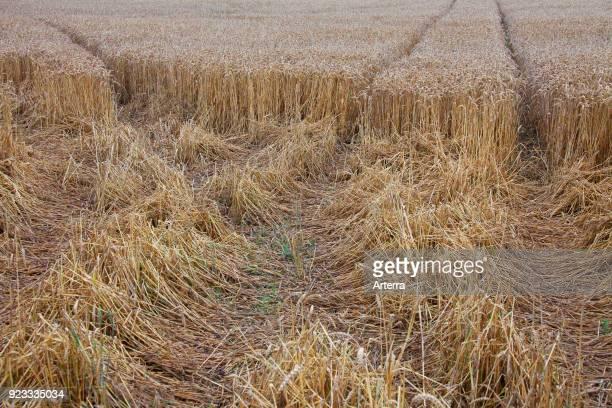 Damage in wheat field cornfield cereal field done by feeding wild boars in summer
