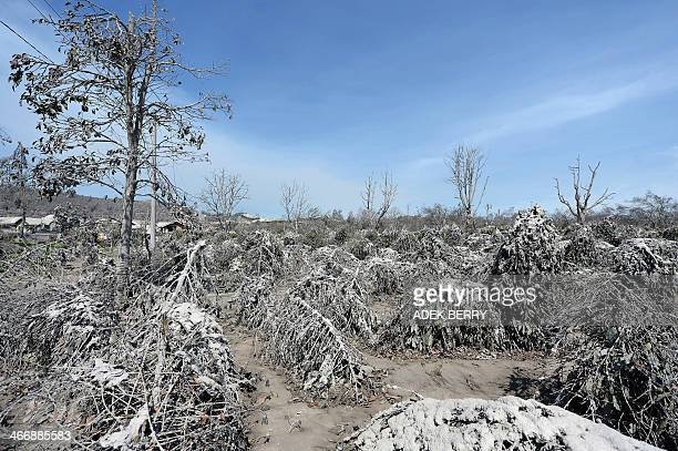 Damaged and ash covered trees and plants in the abandoned village of Sigaranggarang on February 5 2014 A volcano in western Indonesia that killed 15...