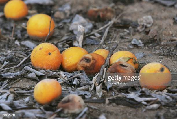 Damaged oranges sit on the ground in an orange grove January 17 2007 in Orange Cove California California governor Arnold Schwarzenegger declared a...