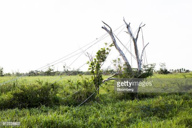 Damaged power lines from Hurricane Maria hang from a tree in Canovanas Puerto Rico on Sunday Jan 21 2018 Before Hurricane Maria struck four months...