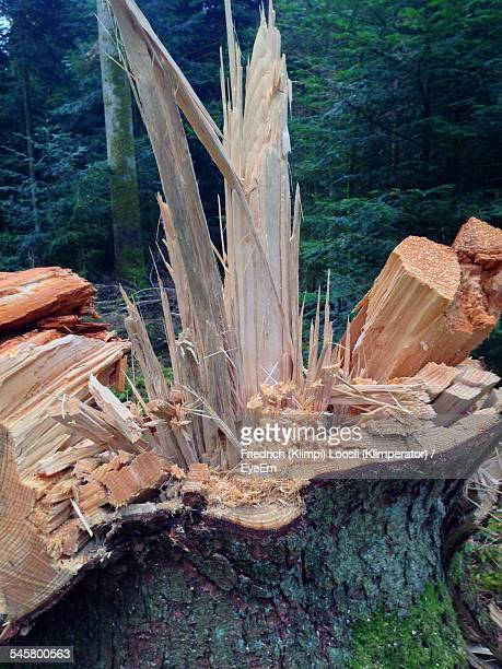 Damaged Tree Stump On Forest
