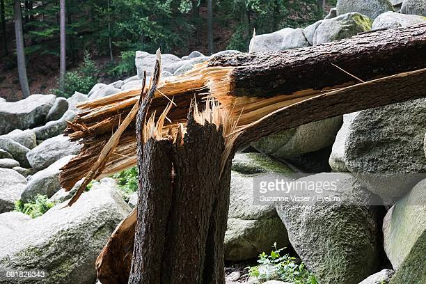 Damaged Tree Trunk By Rocks In Forest