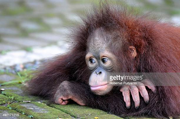 Damai 3 years old Bornean orang utan plays courtyard at Surabaya Zoo as he prepares to be released into the wild on May 19 2014 in Surabaya Indonesia...