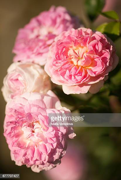 Damask Rose Jacques Cartier in Bloom