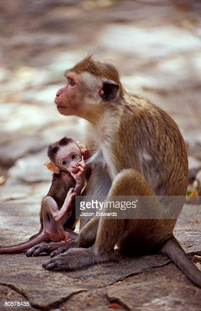 a toque aka red-faced macaque suckling a hungry infant in the temple. - ugly monkey stock photos and pictures