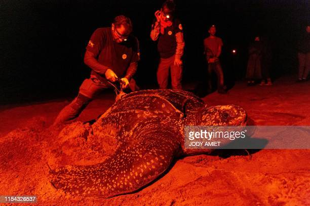 TOPSHOT Damien Chevallier a researcher of the French National Centre for Scientific Research installs a GPS tracker on the shell of a leatherback sea...