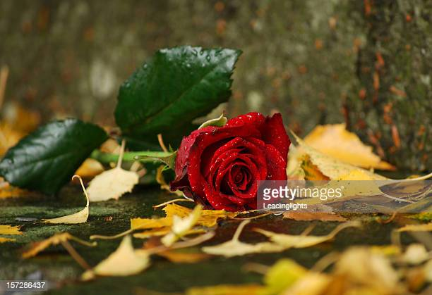 damp rose - single rose stock photos and pictures
