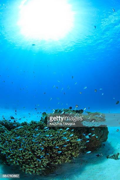 Damsel Fish and Coral