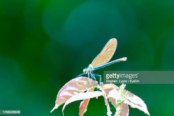 damsel fly - aphid stock pictures, royalty-free photos & images