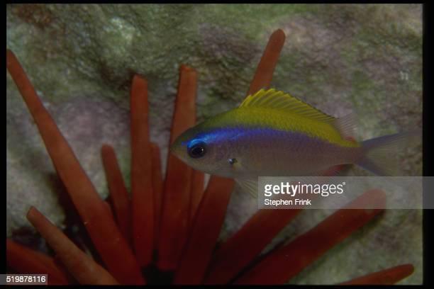 Damselfish and Slate-Pencil Urchin