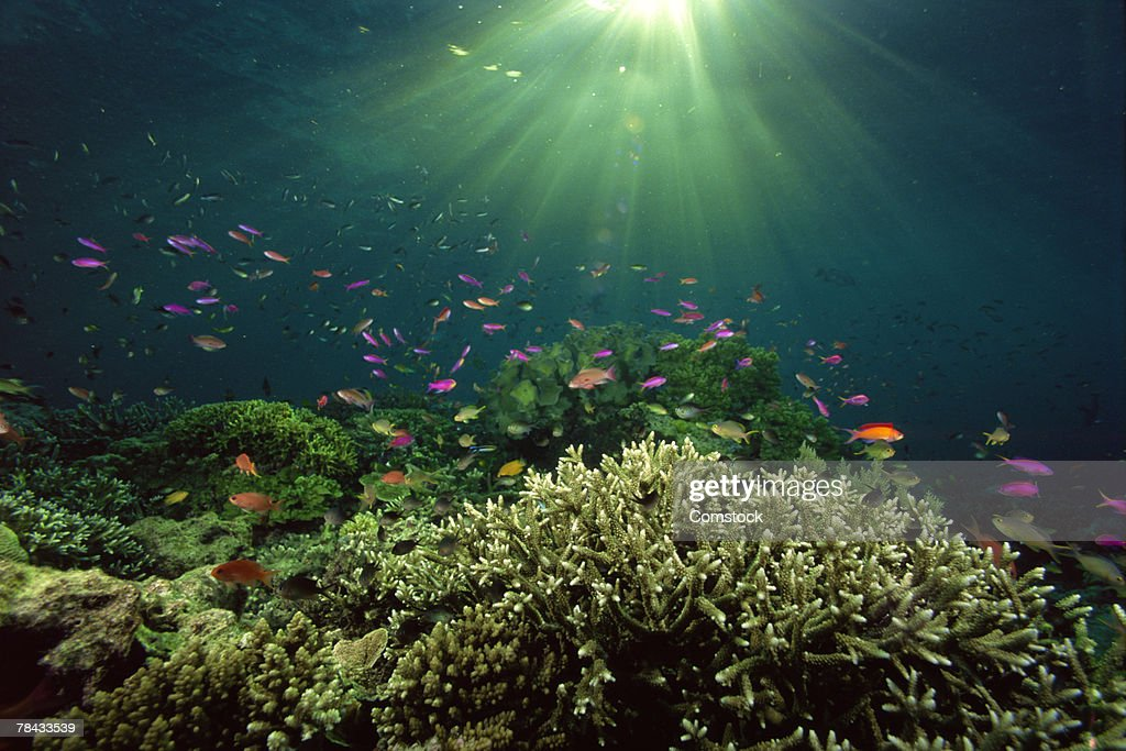 Damselfish and Wrasses dance above shelter of staghorn corals , Borneo , Malaysia : Stock Photo