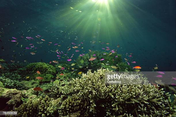 Damselfish and Wrasses dance above shelter of staghorn corals , Borneo , Malaysia
