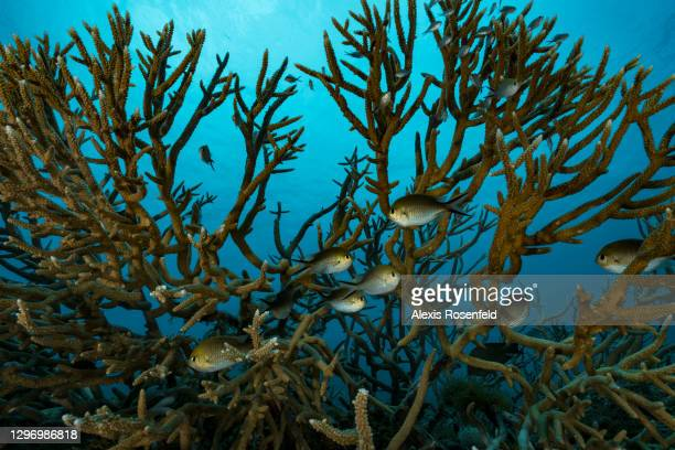 Damselfishes take refuge in the middle of coral branches of the genus Acropora, on 23 November 2017, Mayotte, Comoros archipelago, Indian Ocean. The...