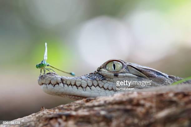Damselfly on a crocodile, Banten, West Java, Indonesia