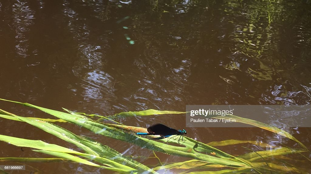Damselfly On Plant Floating In Lake : Stockfoto