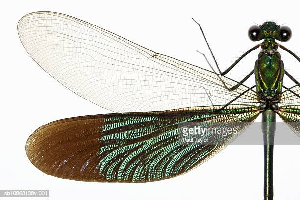 Damselfly (Odonates) on white background, close-up, overhead view