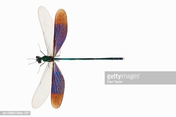 Damselfly (Odonata) on white background, overhead view