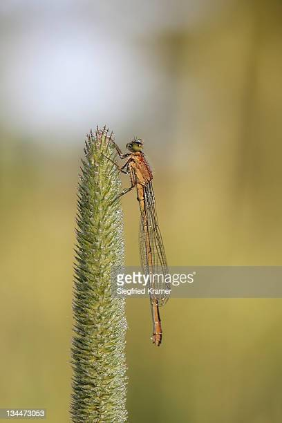 damselfly (zygoptera) - vista lateral stock pictures, royalty-free photos & images