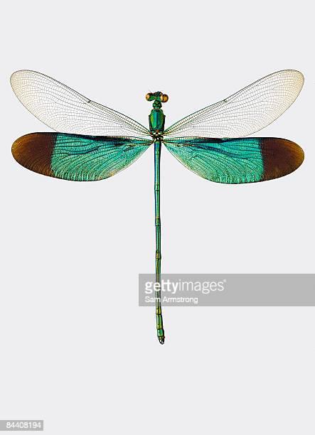 damselfly - 昆虫 ストックフォトと画像