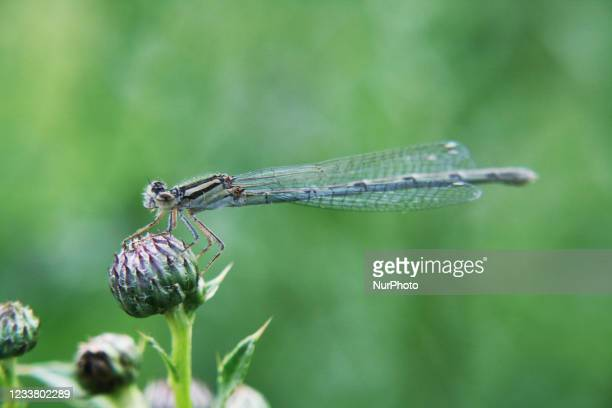 Damselfy rests on the bud of a thistle plant in Ontario, Canada.