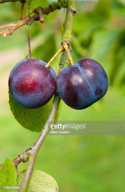 Damson plums (Shropshire prune)