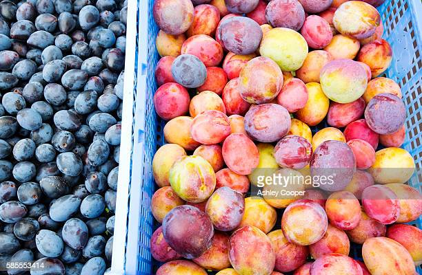 Damsons and Plums picked in an orchard near Pershore, Vale of Evesham, Worcestershire, UK.