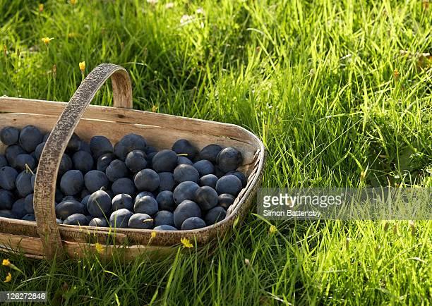Damsons in a basket in long grass.