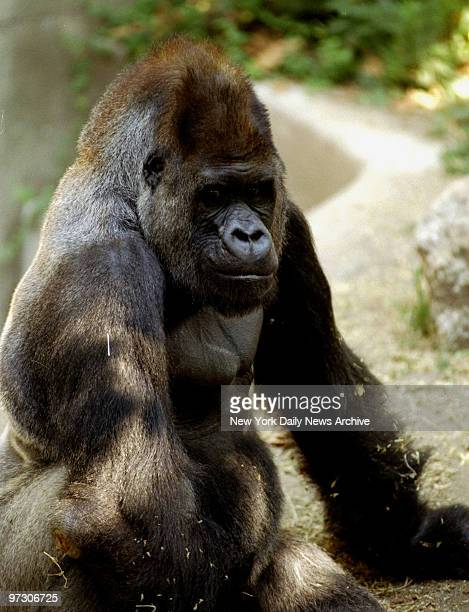 Dan a 28yearold West African lowland gorilla who lives at the Bronx Zoo