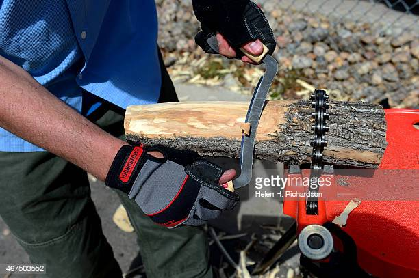 Dan West an entomologist with the Colorado State Forest Service uses a draw knife to peel bark off of local ash trees looking for the Emerald Ash...