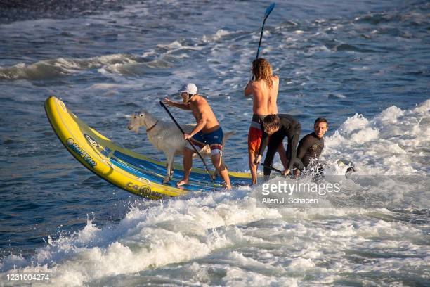 February 05: Dana McGregor, front of board, owner of The Surfing Goats of Pismo Beach, is joined by friends surfing with Pismo The Kid surfing goat,...