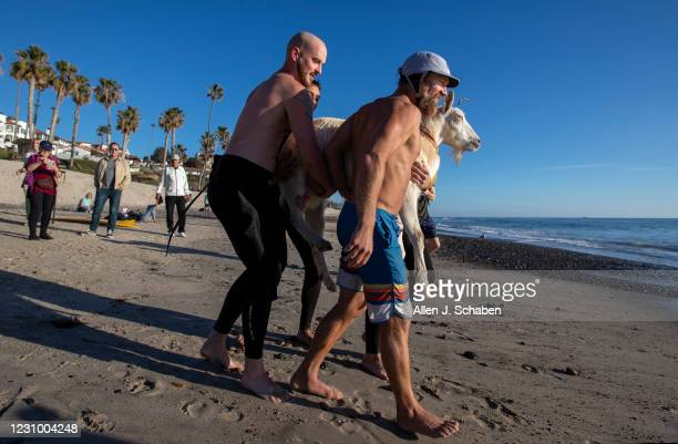 February 05: Dana McGregor, front, owner of The Surfing Goats of Pismo Beach, is joined by friends carrying Pismo The Kid surfing goat to his board...