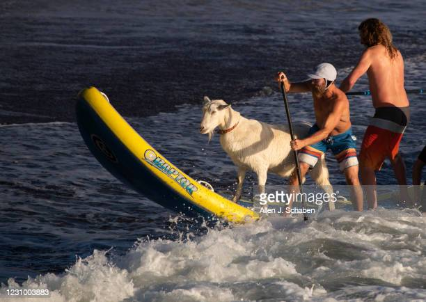 February 05: Dana McGregor, left, owner of The Surfing Goats of Pismo Beach, is joined by a friend surfing with Pismo The Kid surfing goat, after...