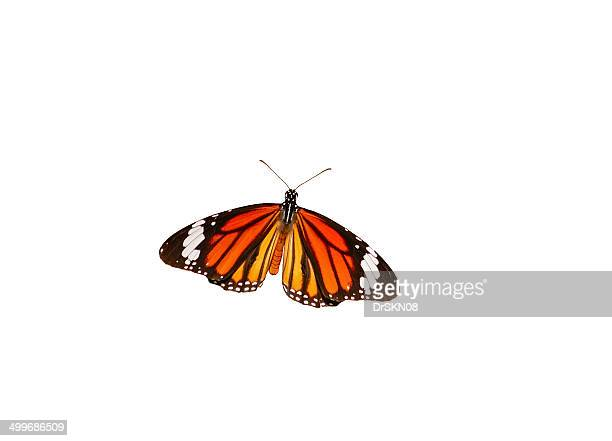 Danaus genutia butterfly with open wings