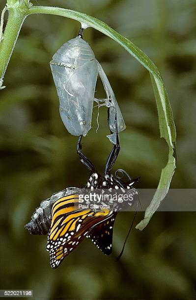 danaus plexippus (monarch butterfly) - emerged from pupa - hatching stock pictures, royalty-free photos & images