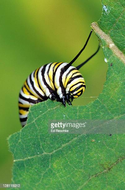 MONARCH CATERPILLAR (LARVA) EATING A MILKWEED LEAF. Danaus plexippus. Host plant is milkweed. Because the caterpillar feeds on milkweed it is toxic or distasteful to many predators. Michigan