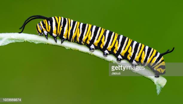 danaus plexippus – monarch butterfly caterpillar - caterpillar stock pictures, royalty-free photos & images