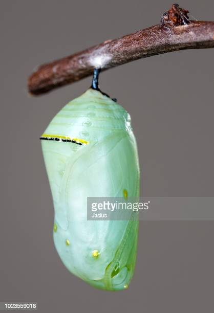 danaus plexippus – monarch butterfly chrysalis - cocoon stock pictures, royalty-free photos & images