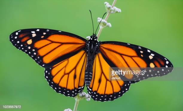 danaus plexippus – monarch butterfly - mariposa monarca fotografías e imágenes de stock