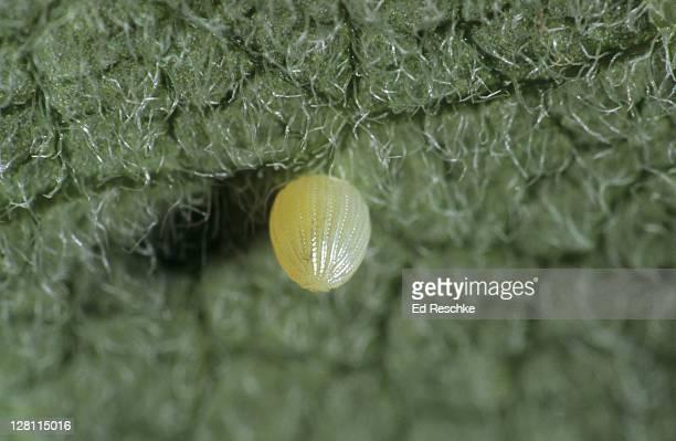 MONARCH EGG ON UNDERSIDE OF MILKWEED LEAF Danaus plexippus The egg hatches into a larva (caterpillar) which eats milkweed (the host plant). Michigan 4X life size