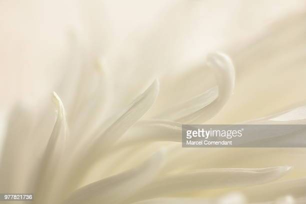 dance of spring - flower head stock pictures, royalty-free photos & images