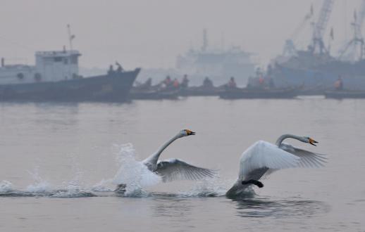 Danceing of swan 185311607