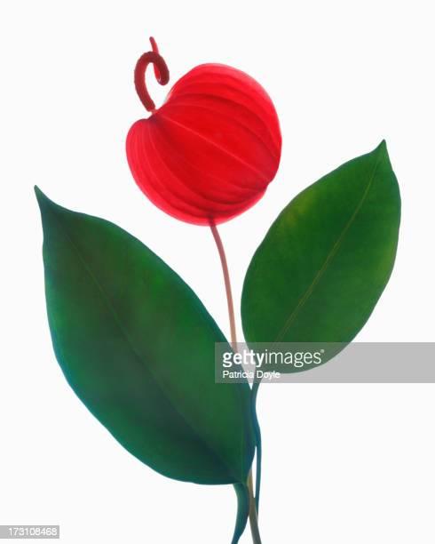 Dancing anthurium flower