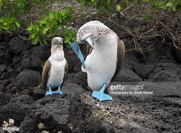 dancing boobies - galapagos islands stock pictures, royalty-free photos & images