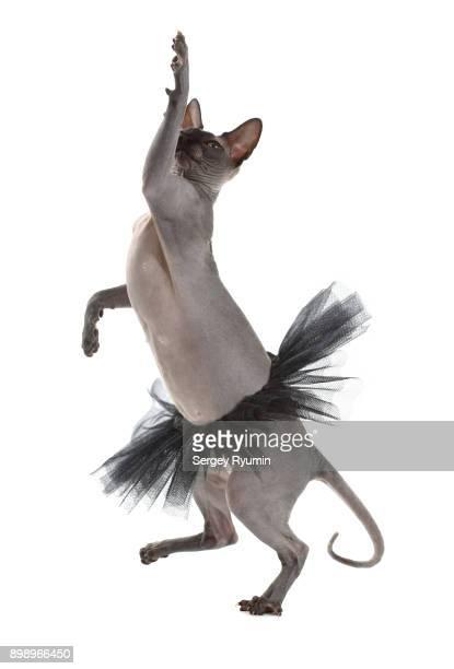 Dancing cat.