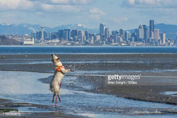 dancing dog - kitsap county washington state stock pictures, royalty-free photos & images