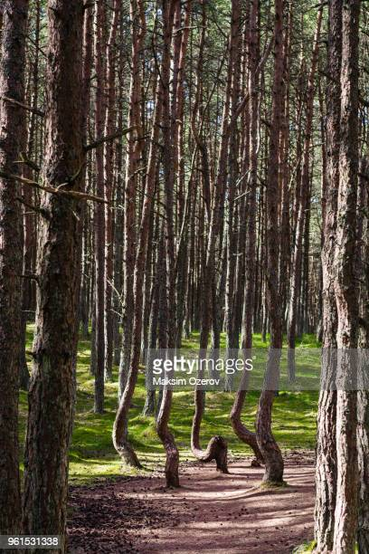 dancing forest in kaliningrad region, russia - kaliningrad stock pictures, royalty-free photos & images