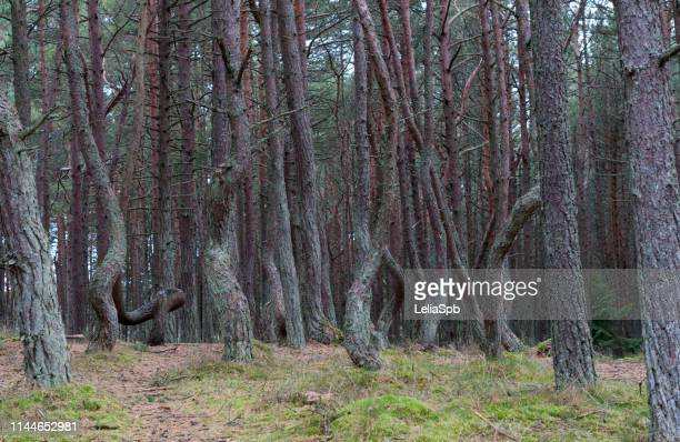 dancing forest on the curonian spit - gekanteld stockfoto's en -beelden