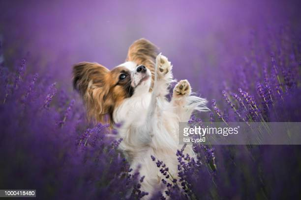 dancing in purple - papillon dog stock photos and pictures