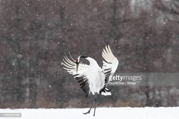 dancing in snow - japanese crane stock pictures, royalty-free photos & images